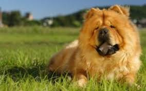 most beautiful dog breeds in the world. Modren The Ogs In This Breed Look Regal Like A Lion These Furbabies Are Not Very  Energetic And Do Need Lot Of Exercise Chows Well With Alone Time As They  Inside Most Beautiful Dog Breeds In The World I