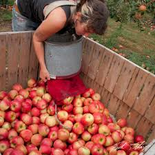 apple picking photo essay londonderry news emptying apple basket
