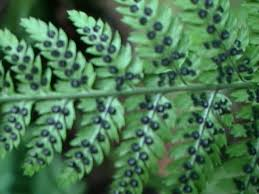 Spore Propagation, How to Propagate and Grow new Ferns Using ...