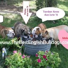 photo of the best english bulldogs houston tx united states