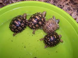 Leopard Tortoise Size Chart Care And Feeding Of The Hatchling Leopard Tortoise