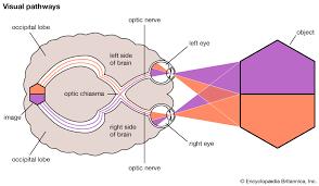 Eye Dominance Chart Human Eye The Higher Visual Centres Britannica