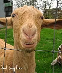 Choosing A Dairy Goat Breed