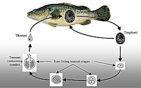 Murray Cod Growth Chart Fish Health Management Vfa