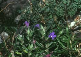 Glandora rosmarinifolia - Wikispecies