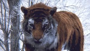 tiger roar tumblr. Perfect Tumblr Meow  To Tiger Roar Tumblr