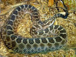 Snake Identification Chart Snakes Of New York
