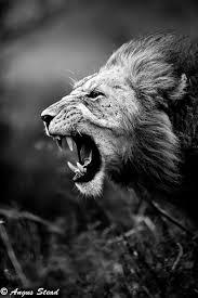 lion roaring black and white. Unique Roaring Intended Lion Roaring Black And White A