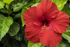 hibiscus flowers what type of soil is best for hibiscus flowers home guides sf gate