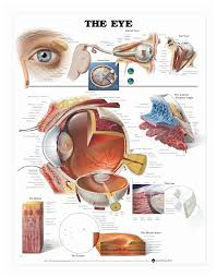 Laminated Anatomical Charts Anatomical Chart Series The Eye Laminated Poster Teaching Supplies Classroom Safety