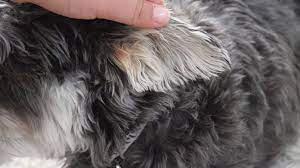diy dog ear cleaners are popular but