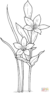 Daffodil Or Narcissus Or Jonquil Super