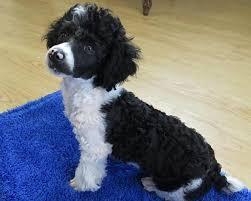 high point nc poodle miniature
