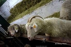 Les moutons attaqués à La Roche