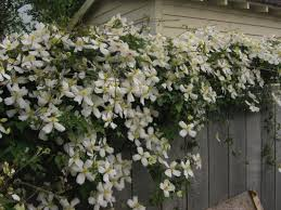Best 25 Climber Plants Ideas On Pinterest  Flower Vines Flowers Wall Climbing Plants Australia