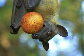 Are Bats Blinded By Light Fruit Bats Are Reforesting African Woodlands