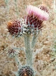 Onopordum illyricum - Wikipedia
