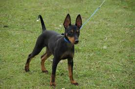 Manchester Terrier Size Chart English Toy Terrier
