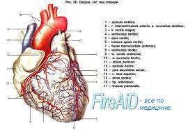 Гемодинамическая функция сердца физиология ⋆ Лечение Сердца Сердце картинки анатомия