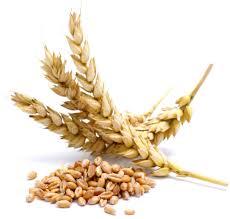 Резултат с изображение за масло от пшеничен зародиш