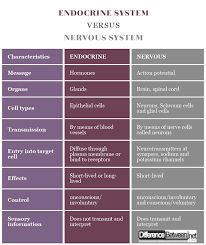 Comparative Functions Of Nervous And Endocrine Systems Chart Difference Between Endocrine System And Nervous System