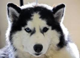 siberian husky dog breed pictures