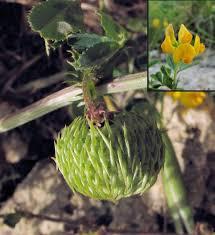 Wild Plants of Malta & Gozo - Plant: Medicago intertexta (Prickly ...