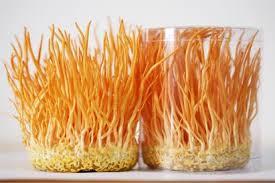 Kết quả hình ảnh cho bán đông trùng hạ thảo tươi