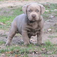 retriever puppies silver