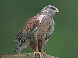 What Is A Hawk Light Ferruginous Hawk Light Morph Birds Birds Of Prey What Is
