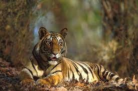 Desktop Background of Tiger in Jungle ...