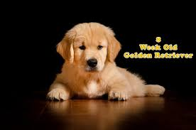 Puppy Feeding Chart Golden Retriever How To Take Care Of An 8 Weeks Old Golden Retriever