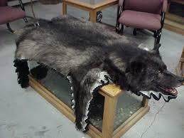 wolf skin rug black backed jackal taxidermy