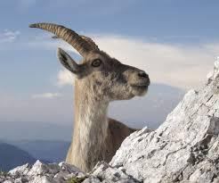 Resultado de imagen de imágenes cabras montesas otoño