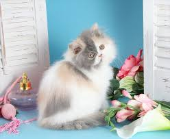 dilute calico kittens for sale. Perfect Sale Dilute Calico Patchwork Persian Kitten With Kittens For Sale P