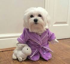 maltese dog. how to dress your dog like a latte for halloween maltese p