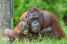 live jungle animals. Brilliant Live Orangutan And Baby To Live Jungle Animals