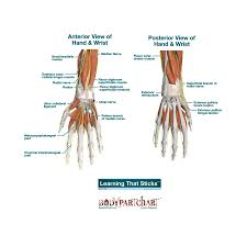 Hand And Wrist Labeled Body Part Chart Removable Wall Graphic