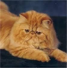 orange persian cat. Contemporary Orange Iu0027ve Always Wanted An Orange Persian So Ivan Name It Crookshanks For Orange Cat