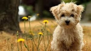 cute puppy wallpaper for computer. Fine Computer Preview Wallpaper Puppy Grass Flowers Face In Cute Puppy Wallpaper For Computer P