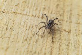 Michigan Spiders Identification Chart Michigan Has 2 Poisonous Spiders And One Really Scary 1