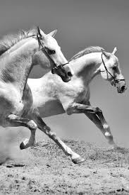 wild white horses running free.  Horses Wild White Horses Running Free And Showing To P They Will Run Out Of  Their Business If Nothing Changes In Policy For Wild White Horses Running Free I