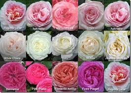 garden roses. Garden Roses Available By Mayesh M