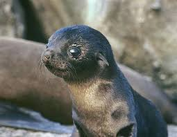 the annual namibian cape fur seal slaughter