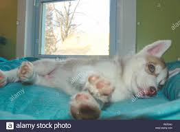 siberian husky puppy age two months theme of growing up stock image