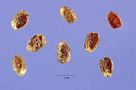 Plants Profile for Chamaesyce nutans (eyebane)