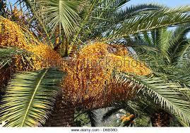 Seeds Palm Tree Orange Fruit Stock Photos U0026 Seeds Palm Tree Orange Palm Tree Orange Fruit