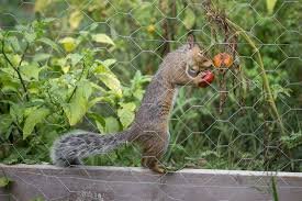 Keeping Squirrels Out Of The Garden  Bonnie PlantsHow To Protect Your Fruit Trees From Squirrels