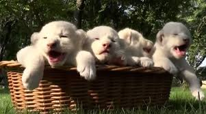 newborn white lion cubs. Perfect Newborn Rare Newborn White Lion Cubs Born In Crimean Zoo Are Adorable  Metro News Inside Newborn White Lion Cubs 2