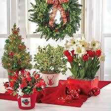 Amaryllis Christmas Gift 3234cm  Longfield GardensChristmas Gift Plants